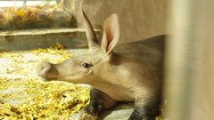 В зоопарке Калининграда у трубкозуба появился новый вольер