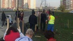В Краснодаре высадили 70 декоративных лип