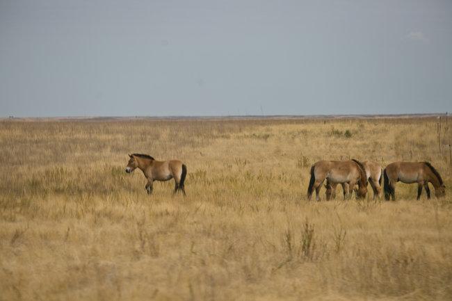 Лошади Пржевальского в заповеднике «Оренбургский»