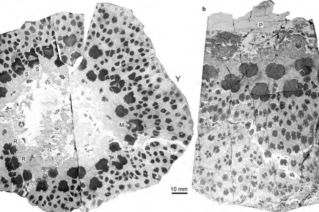 поперечный срез ствола Cladoxylopsida, на котором видны отдельные пучки ксилемы