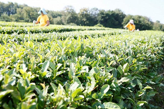 чай поле Кубань Краснодар