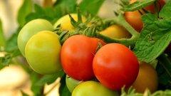 Новая зараза грозит уничтожить до 80% урожая томатов и перца