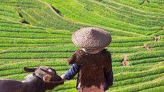 Северные китайцы стали индивидуалистами благодаря пшенице