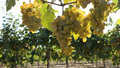 В Краснодарском крае собрали более 212 тысяч тонн винограда
