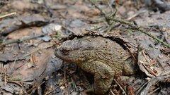 В Ленобласти думают, как спасать жаб в сезон миграции
