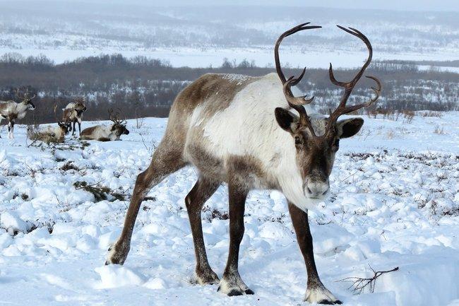 Специалисты исследуют популяцию дикого северного оленя на острове Белом