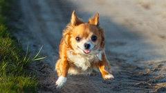 Несмиян: в список МВД потенциально опасных собак сталось внести чихуахуа