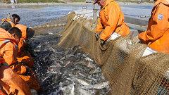 Потери России от новых правил ввоза рыбы в США составят около $1 млрд в год