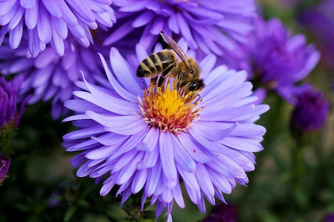 пчела цветок