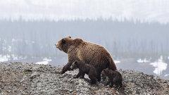 Коммунисты медведя поймали: губернатор Левченко оказался браконьером
