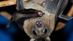 Биологи научились понимать язык летучих мышей