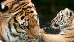 Биологи усомнились в существовании амурских тигров