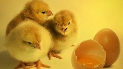 Тюменские птицефабрики начнут экспорт продукции на Ближний Восток
