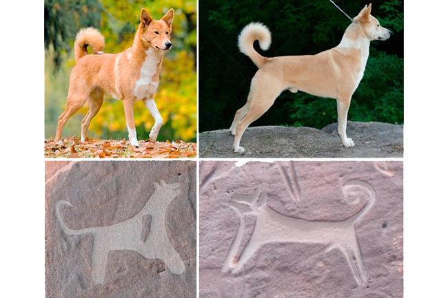 Сверху - собаки ханаанской породы, снизу - реконструкция древних рельефов, обнаруженных в Саудовской Аравии.