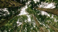 В Калуге на Театральной улице появится сосновый лес