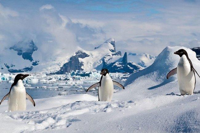 Популяция пингвинов в Антарктиде уменьшилась вдвое из-за жары