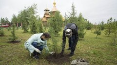 В Сургуте на улице Энергетиков высадили 90 саженцев кедра