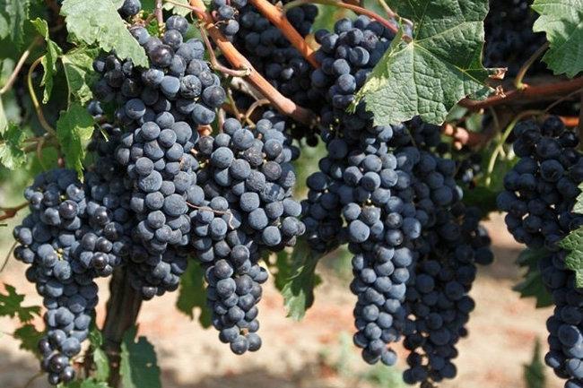 Краснодар виноградник