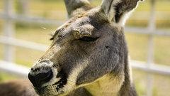 В белгородском зоопарке родились три детеныша кенгуру