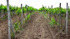 В Краснодарском крае заложат около 2,4 тысячи гектаров молодых виноградников