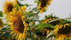 Предприятия Тамбовской области приступили к переработке урожая подсолнечника