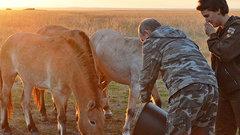 Путин выпустил лошадей Пржевальского в оренбургский заповедник