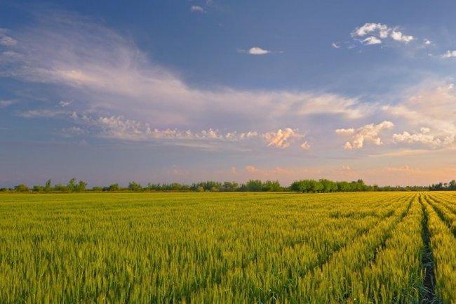 Сельхоз растения поле