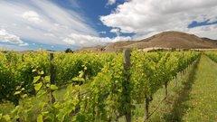 Для нового винзавода на Кубани высадили 1046 га молодого винограда