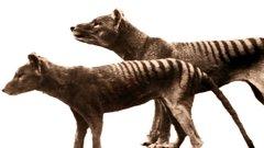 Ученые пролили свет на тайну сумчатого волка
