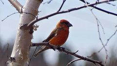 «Христовы птицы» прилетели в Красноярский край