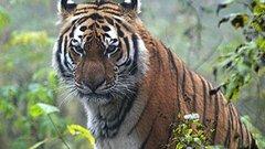 В Приамурье тигрицу Санду выпустили в тайгу после реабилитации