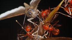 Открыты бабочки, крадущие еду у муравьев