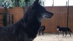 Шесть волков переехали в зоопарк Балахны «Маленькая страна»