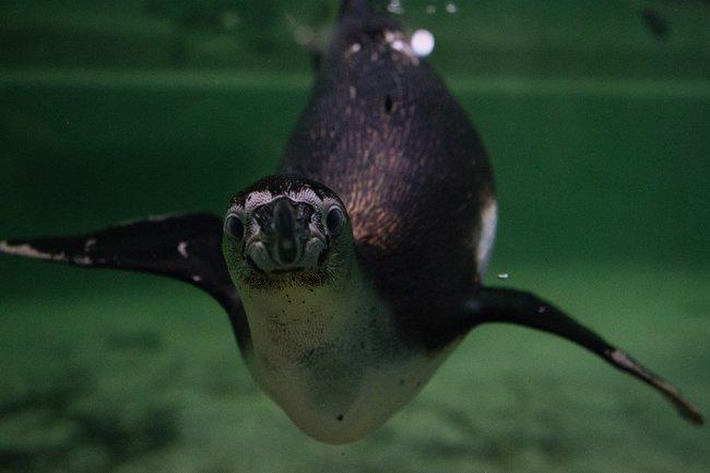 Упингвинов вновосибирском зоопарке вскоре появятся детеныши