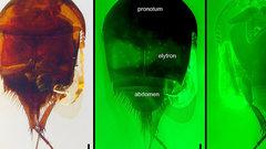 В янтаре возрастом 100 млн лет найден жук-воришка
