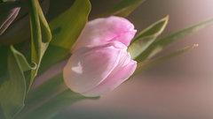В цветники Твери высадят 88000 луковиц тюльпанов