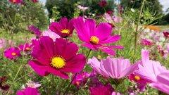 Каждая композиция уникальна: на улицах Ноябрьска высадят 100 тысяч цветов