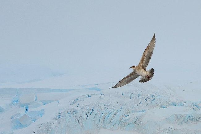 птица Антарктида