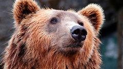В Хакасии провели медвежью перепись после событий в Ергаках