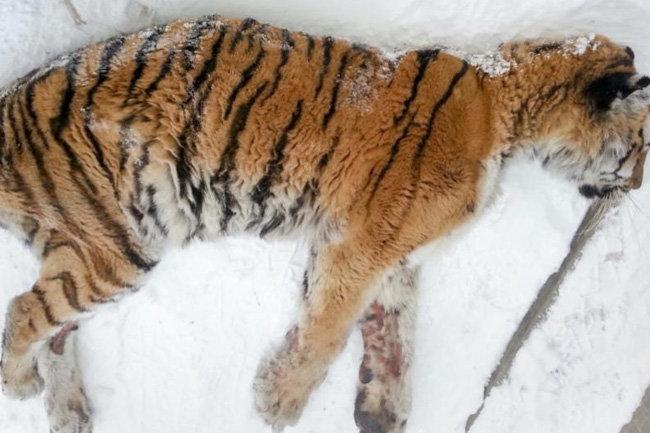 Возраст иболезни взяли верх: вПриморье скончалась хабаровская тигрица