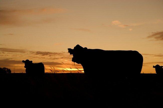 ферма корова коровы